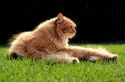 Beautiful ginger cat relaxes at sunset. Beautiful ginger cat relaxes in the garden at sunset Royalty Free Stock Photography