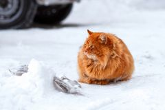 Big fluffy ginger cat sitting in the snow, stray animals in winter, homeless frozen cat. Beautiful ginger cat sits on a snow-covered parking lot in the winter Stock Photos
