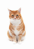 Beautiful ginger cat Royalty Free Stock Photos