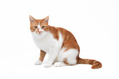 Beautiful ginger cat. Watching something ahead Stock Images