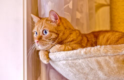 Beautiful ginger fat cat laying in hammock on the scratching post Stock Photography