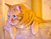 Beautiful ginger fat cat laying in hammock on the scratching post Stock Photos