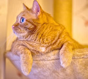 Beautiful ginger fat cat laying in hammock on the scratching post Royalty Free Stock Photography