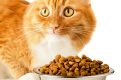 Beautiful ginger feline cat eating. On a metal bowl isolated on a white background. Cute domestic animal royalty free stock photo