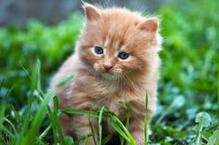Beautiful ginger kitten Royalty Free Stock Image