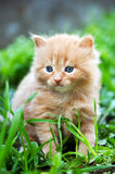 Beautiful ginger kitten Royalty Free Stock Image
