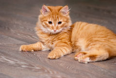 Beautiful ginger kitten Stock Photo