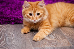 Beautiful ginger kitten Royalty Free Stock Photography