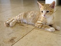 Beautiful ginger kitten, with sparkling eyes, stretched out and almost blending into travertine floor. Looking left stock images