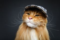 Beautiful maine coon cat in hat. Beautiful ginger maine coon cat wearing checked cap. copy space. studio shot on dark background Royalty Free Stock Photo