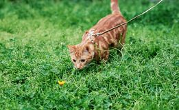 Adorable ginger red tabby cat on a leash out for the very time and fascinated by a dandelion. stock photos