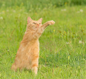 Beautiful ginger tabby cat swatting at the air Stock Photo