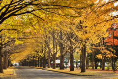 Beautiful Ginkgo along the lenght of the street Royalty Free Stock Images