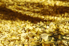 Beautiful  ginkgo leave Royalty Free Stock Images