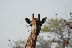 A beautiful Giraffe Royalty Free Stock Images