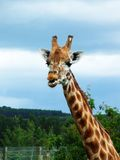 Beautiful giraffe Stock Photos