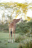 A beautiful Giraffe eating acacia thorn and leaves Royalty Free Stock Image