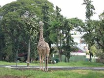 Beautiful giraffe was eating the leaves in the tree stock photography