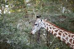 A beautiful Giraffe in the jungle of lake Naivasha Royalty Free Stock Image