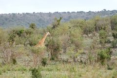 A beautiful Giraffe in the mid of bushes Stock Photo