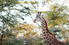 Beautiful Giraffe in the morning sunlight Stock Photo