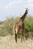 A beautiful Giraffe moving to the green bush Royalty Free Stock Photos