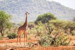 Beautiful giraffe on savanna, Kenya Stock Image