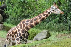 A beautiful giraffe standing in a zoo Stock Photo