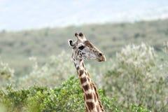 A beautiful Giraffe Stock Images