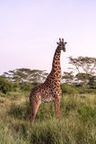 Beautiful Giraffe In Tanzania Royalty Free Stock Images