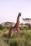 Beautiful Giraffe In Tanzania Royalty Free Stock Images