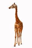 Beautiful giraffe on white background. Beautiful big and tall giraffe on white background Royalty Free Stock Image