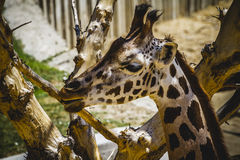Beautiful giraffe in a zoo park Stock Photo