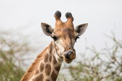 Beautiful giraffe looking curious Stock Photo