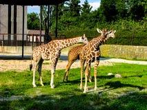Beautiful giraffes graze on the grass - more giraffes in the photo stock photo