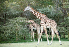 Beautiful Giraffes near Lake Naivasha Stock Photo