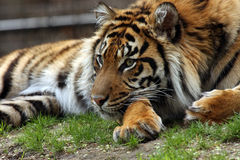 Beautiful Girl. Closeup of a Sumatran Tiger laying on ground and checking out her surroundings Stock Photos