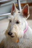 Beautiful Girl!. Wheaten Scottie female on the porch Royalty Free Stock Image