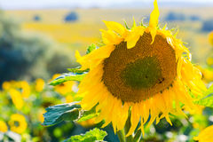 Beautiful girl in black dres, field of sunflowers Stock Photo