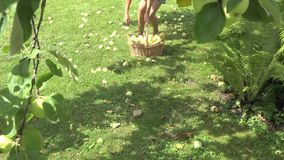 Beautiful girl pick up windfall fruits in apple garden. 4K stock video footage
