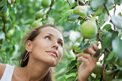 Beautiful girl picking the pear. In the garden stock photo
