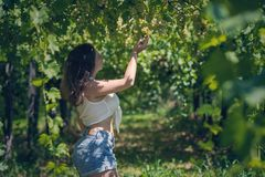 Beautiful girl in shorts and top in a vineyard on a warm sunny evening. Beautiful girl in shorts and top in a vineyard on a warm sunny day stock photos
