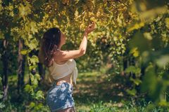 Beautiful girl in shorts and top in a vineyard on a warm sunny evening. Beautiful girl in shorts and top in a vineyard on a warm sunny day stock photo