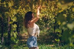 Beautiful girl in shorts and top in a vineyard on a warm sunny evening. Beautiful girl in shorts and top in a vineyard on a warm sunny day stock photography
