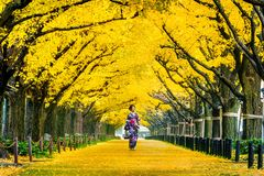 Beautiful girl wearing japanese traditional kimono at row of yellow ginkgo tree in autumn. Autumn park in Tokyo, Japan.  Stock Image