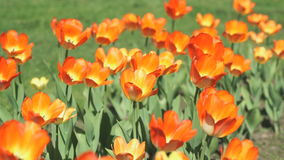 Beautiful glade of tulips outdoors. Colourful tulips. Beautiful glade of tulips outdoors stock footage