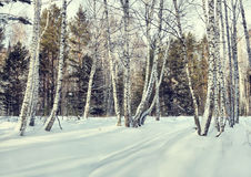 Beautiful glade in a winter birch forest Stock Photography