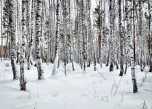 Beautiful glade in a winter birch wood Royalty Free Stock Photos