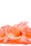 Beautiful Gladiolus Stock Photo
