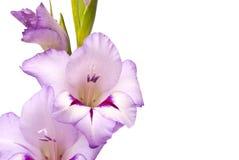 Beautiful Gladiolus Stock Images